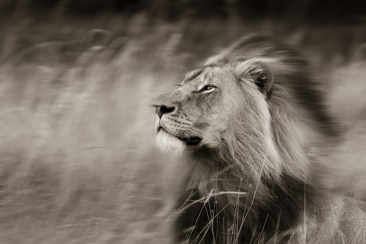 Tumblr Lion Pictures