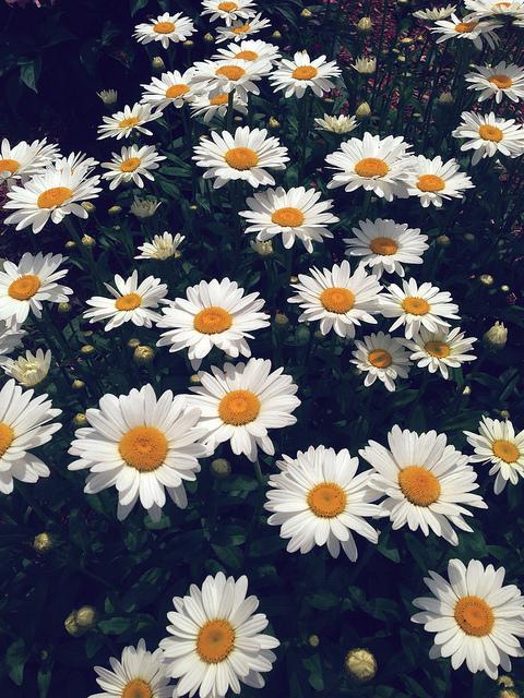 hipster daisy wallpaper - photo #35