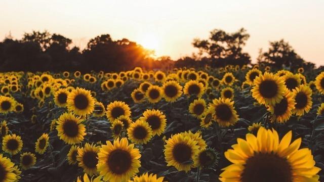 Sunflowers Tumblr