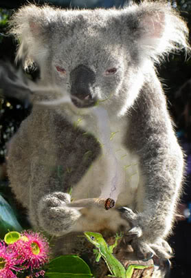 Koalas and Marijuanas