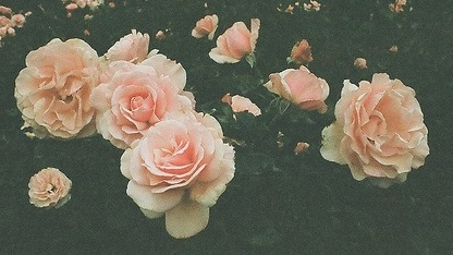 pink and white rose tumblr