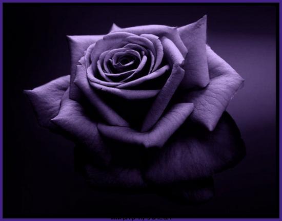 Tumblr Pics Roses Tumblr_static_violet-rose.png