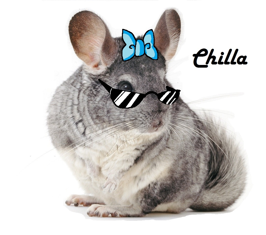 Chinchillas up for adoption