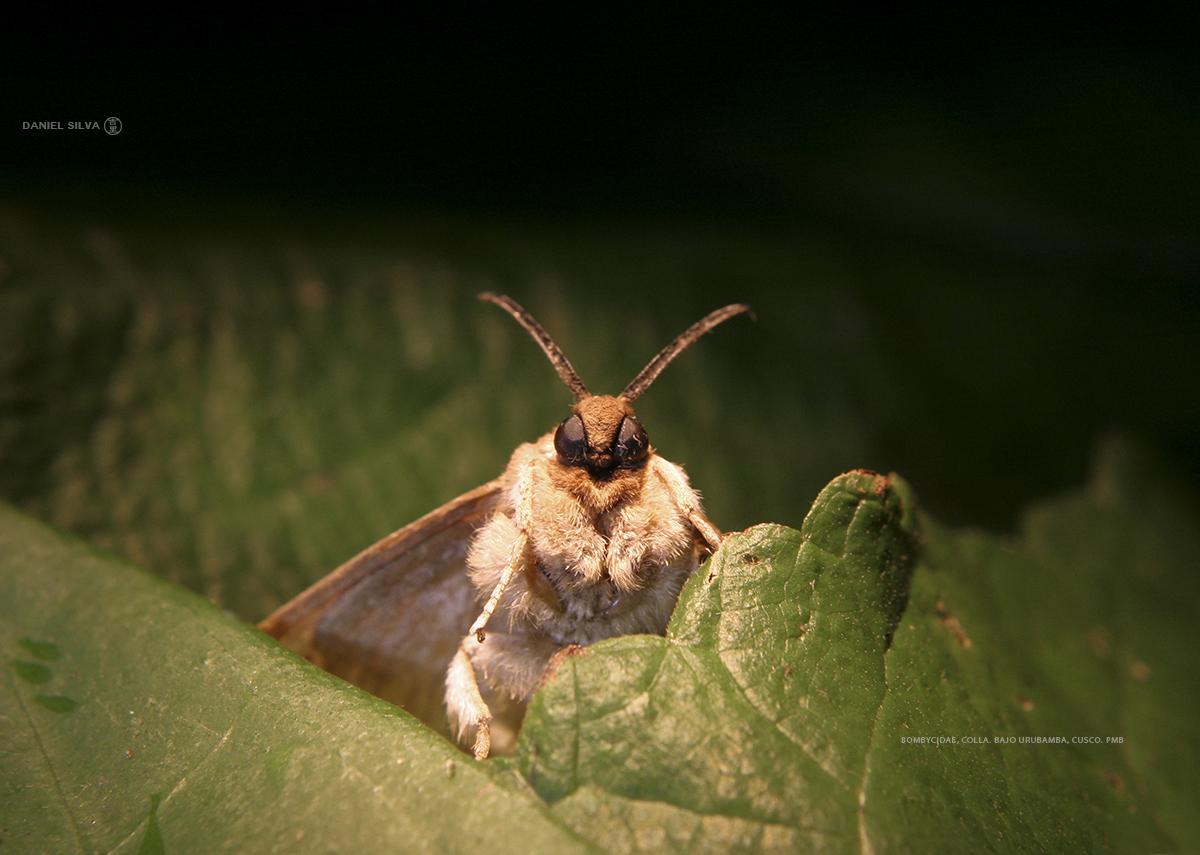 Cometa - Signification papillon de nuit ...
