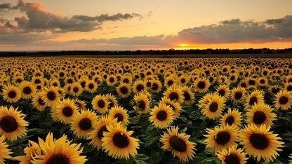 sunflower cover photo tumblr   pixshark     images