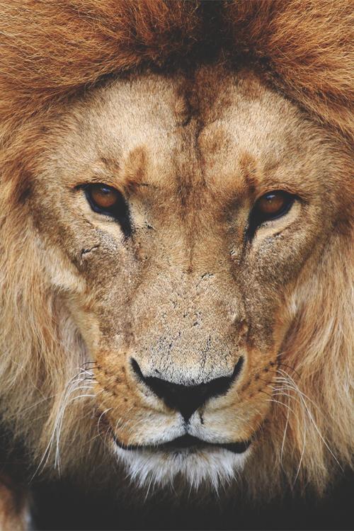 Anxious Puppy Lion's Kingdom