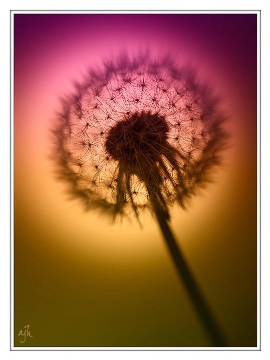dandelion sunset related keywords - photo #28