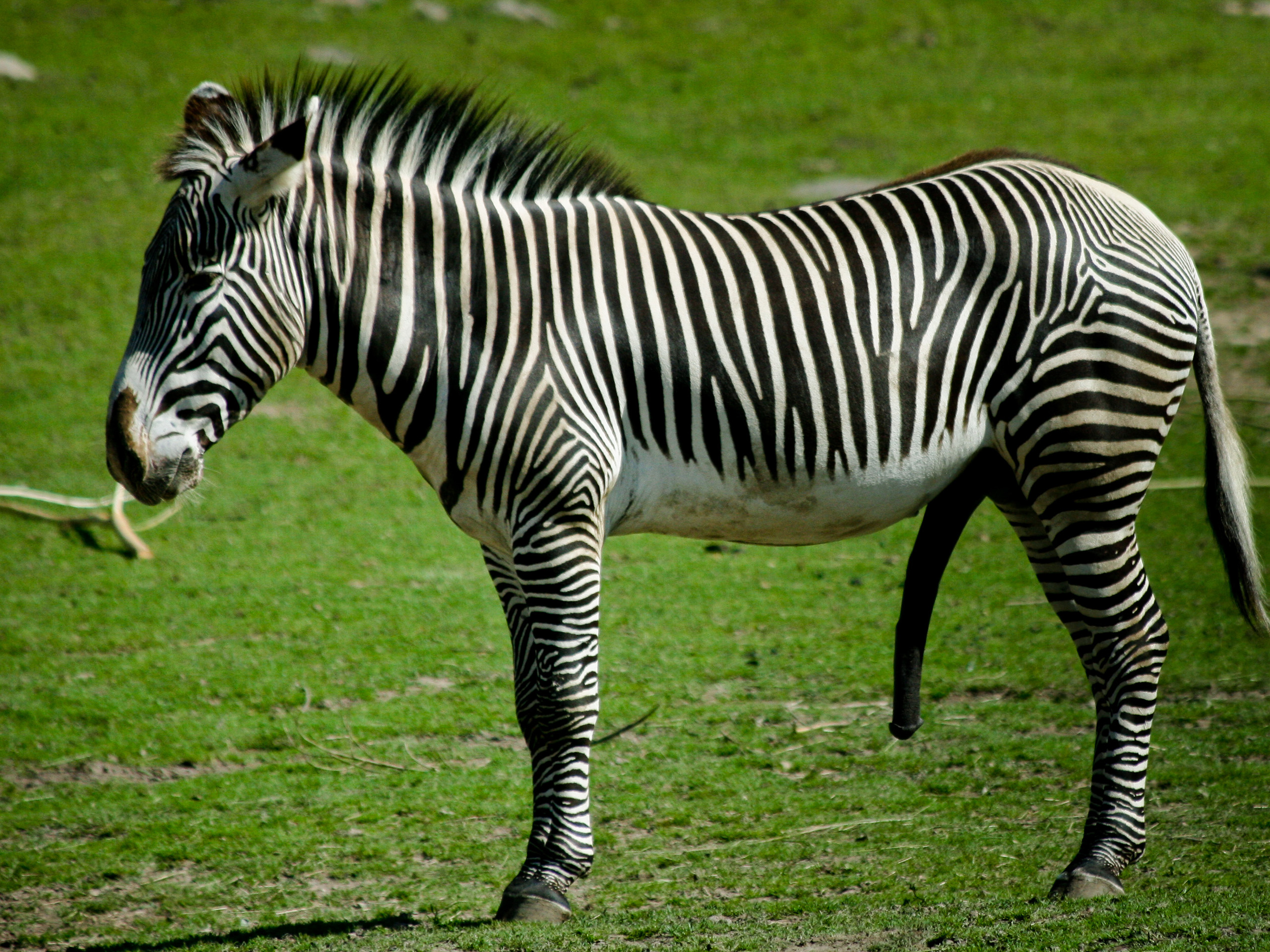 Great Wallpaper Horse Stunning - tumblr_static_animal-zebra-004  Picture_613495.jpg