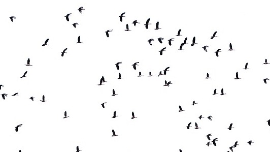 Flock of birds silhouette png