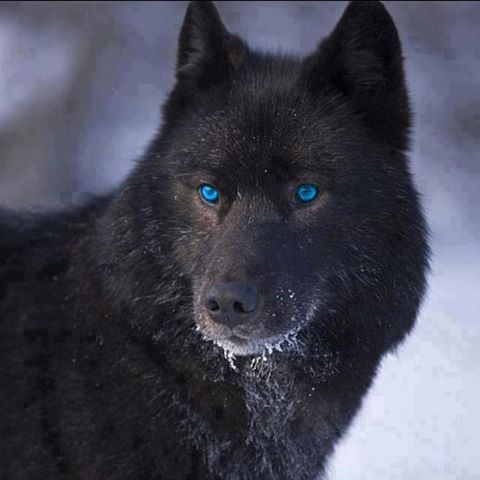 Black wolf with blue eyes drawing - photo#17