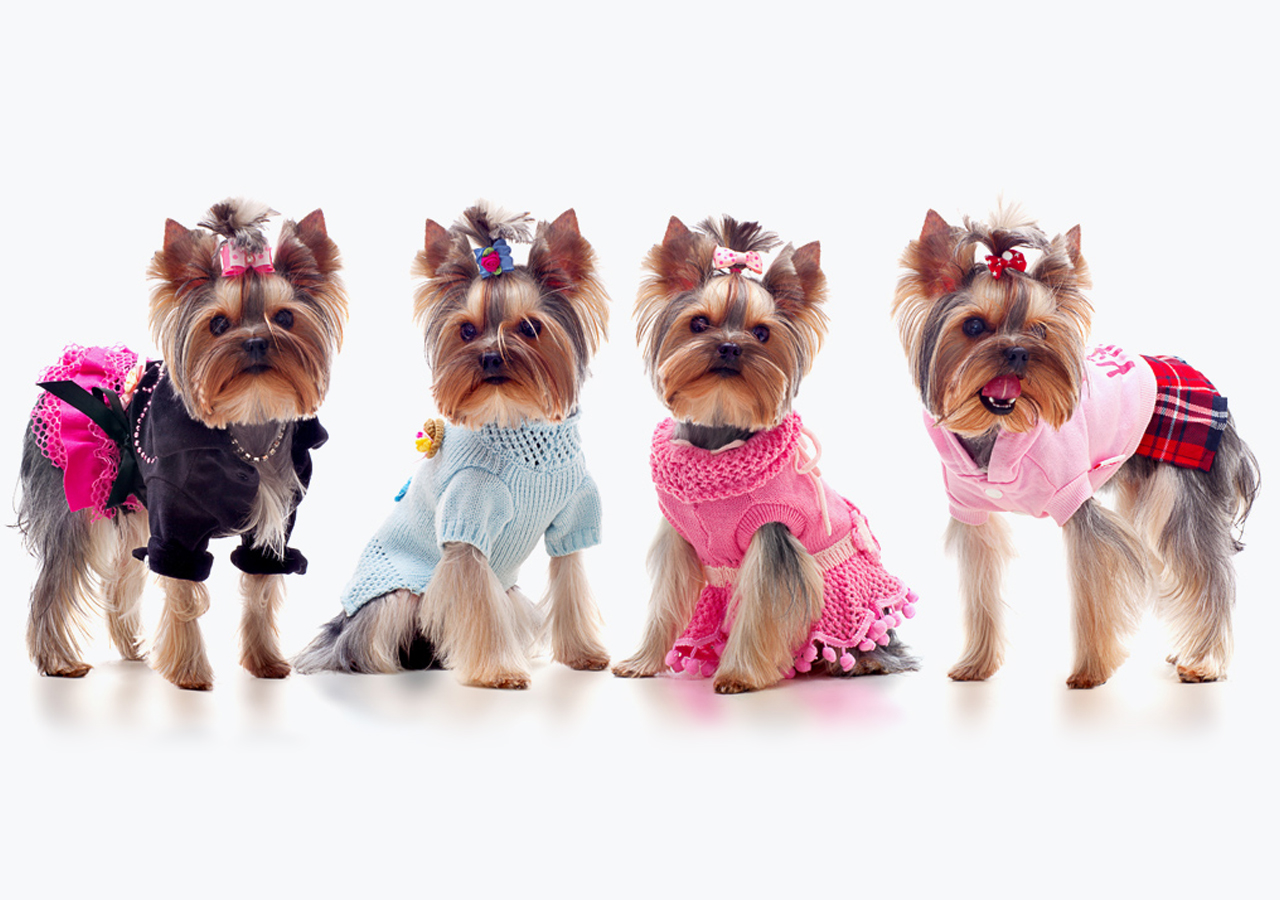 Teacup Yorkies On Tumblr