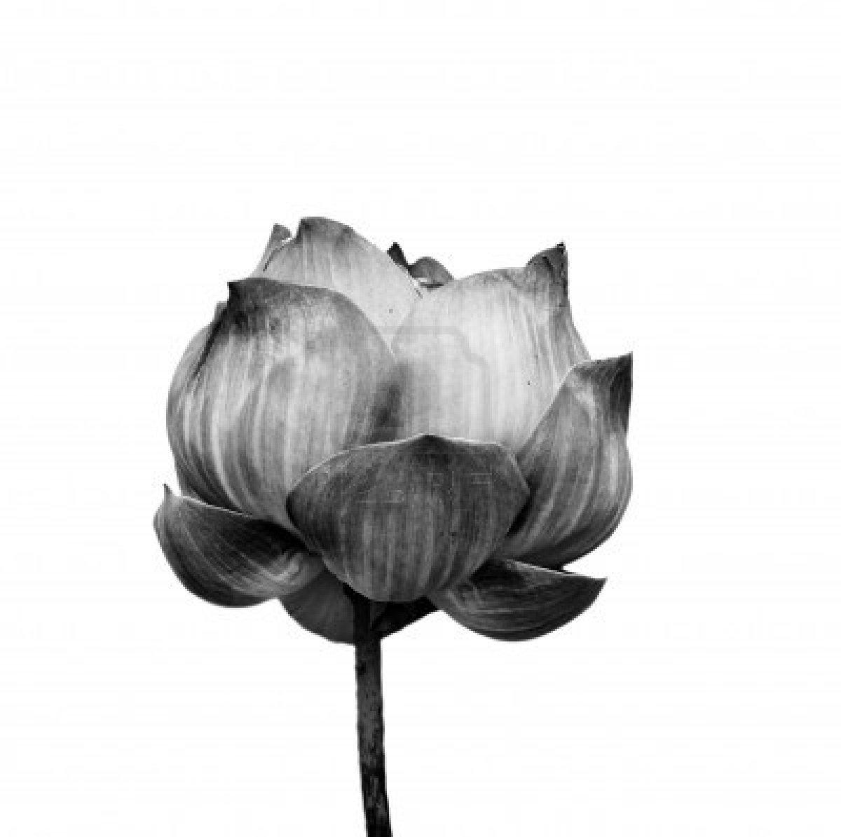 Lotus flower black and white comousar lotus flower black and white things that i like izmirmasajfo