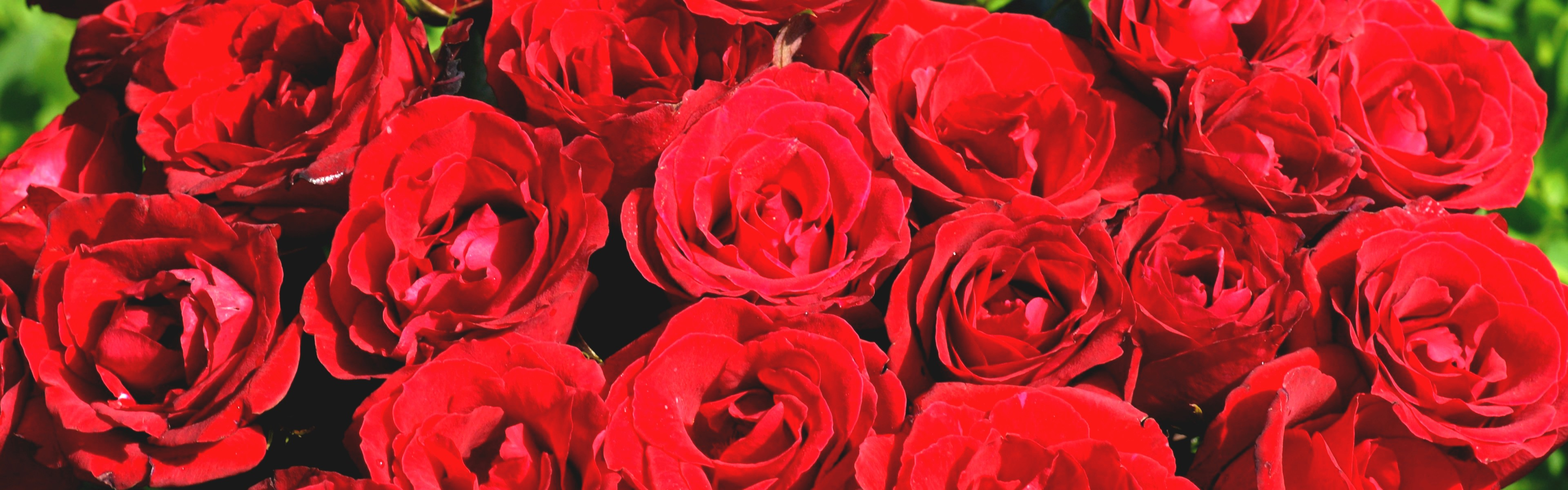 Red Roses Tumblr Quotes