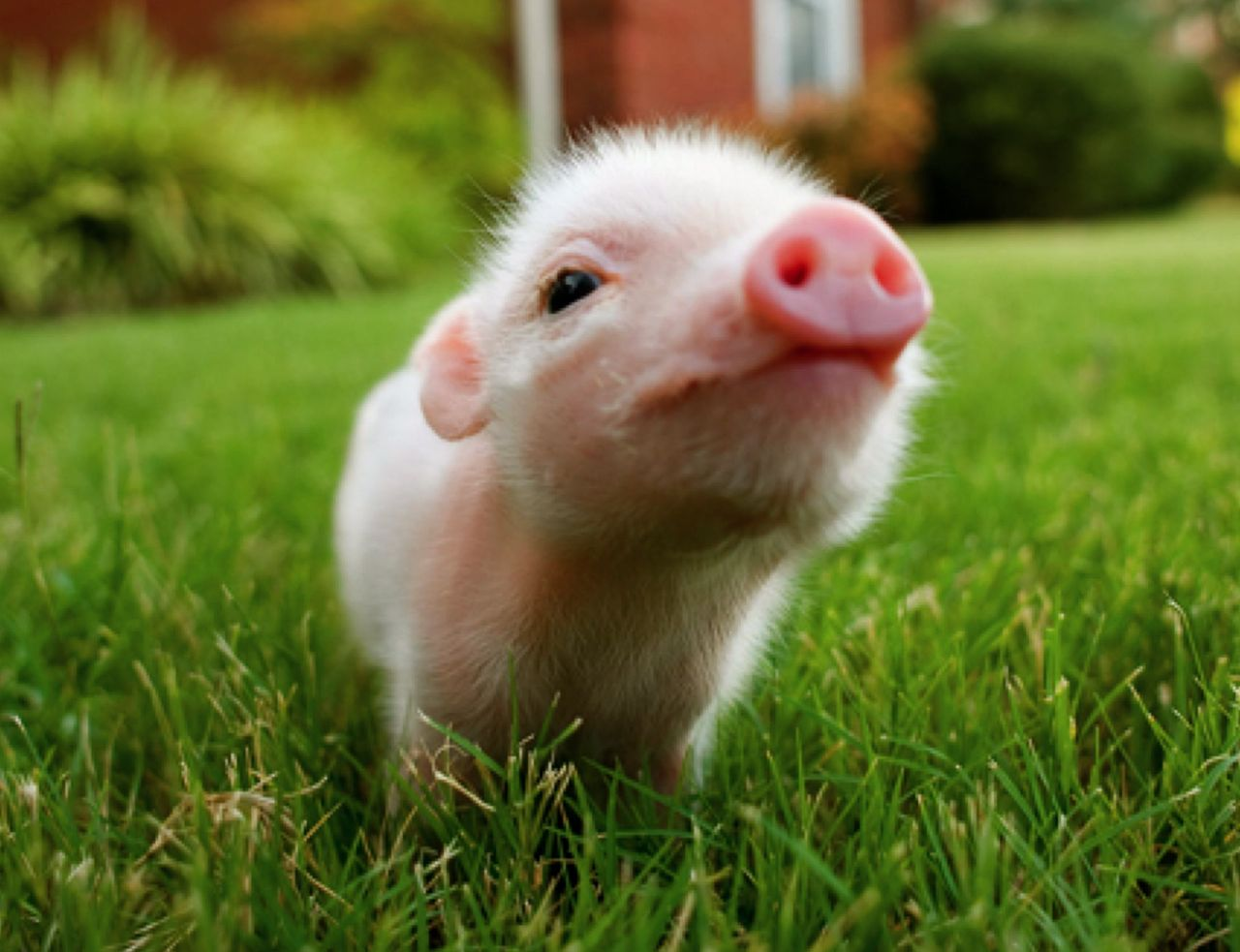 Blog dedicated to teacup pigs  I do not own any of these pictures    Pink Mini Pigs