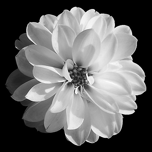 Flowers in black and white image collections flower decoration ideas flowers in black and white image collections flower decoration ideas flowers in black and white images mightylinksfo