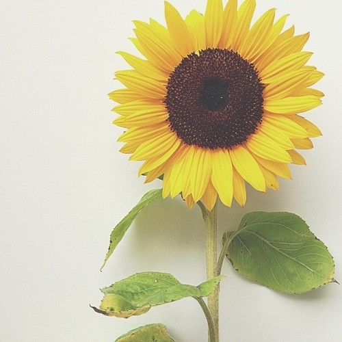 vintage sunflower  Tumblr