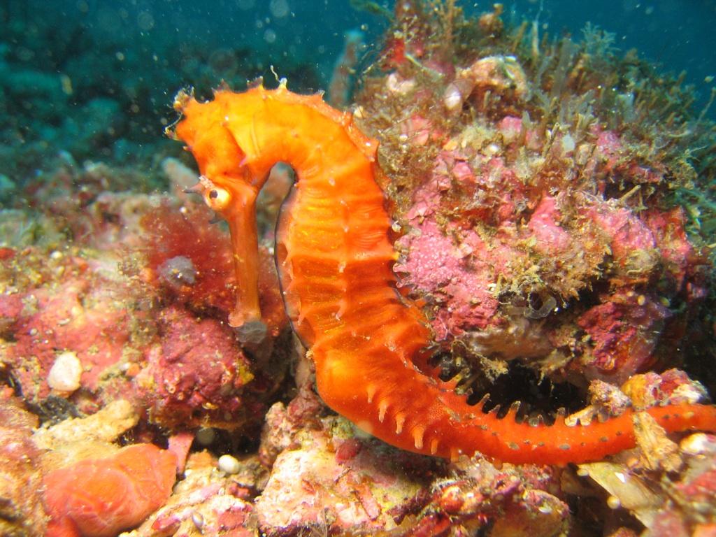 Cool Wallpaper Horse Ocean - tumblr_static_orange-sea-horse  Image_675414.jpg