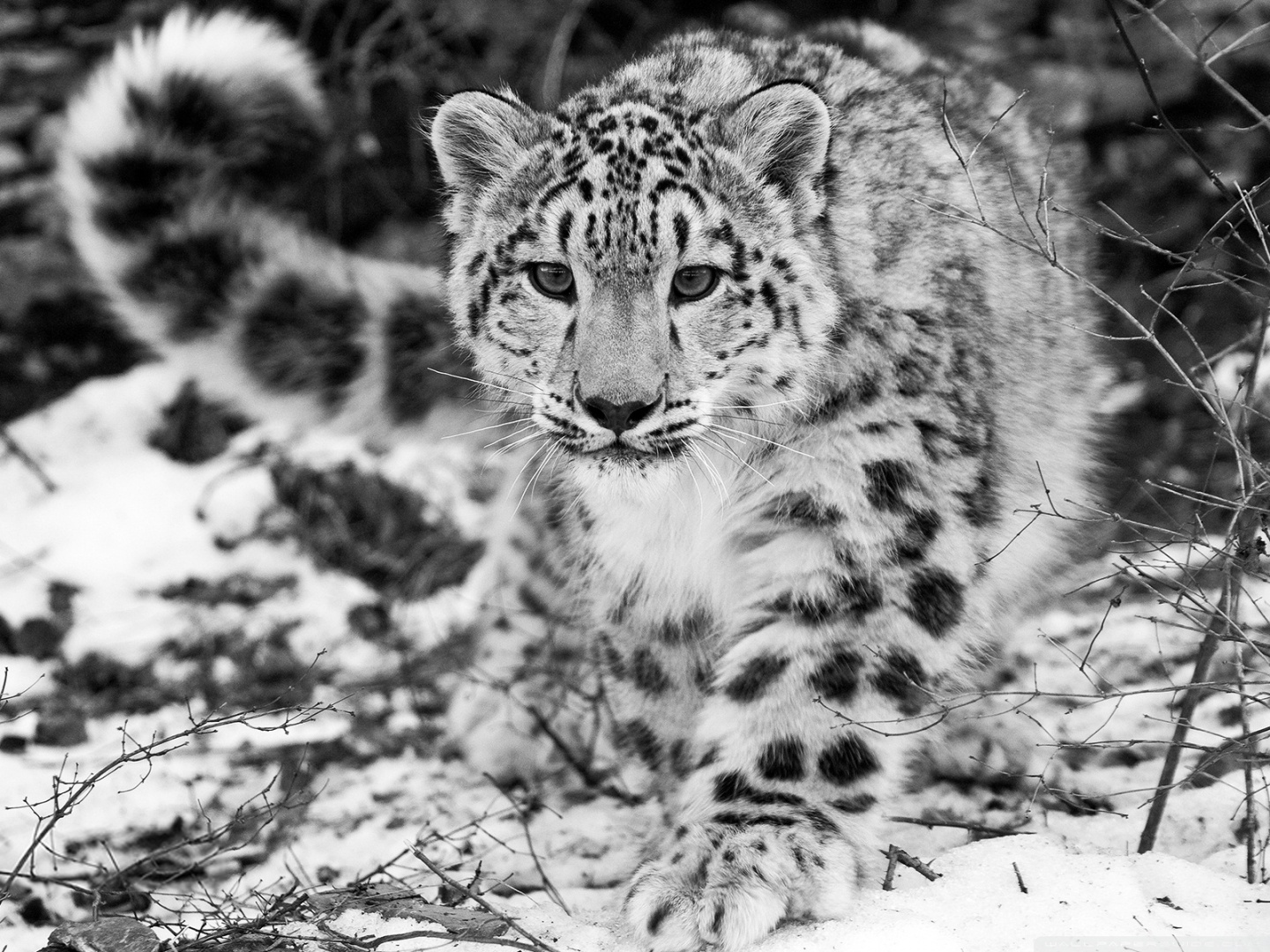 Great Wallpaper Horse Stunning - tumblr_static_snow-leopard-hd-desktop-wallpaper-widescreen-fullscreen  Picture_613495.jpg