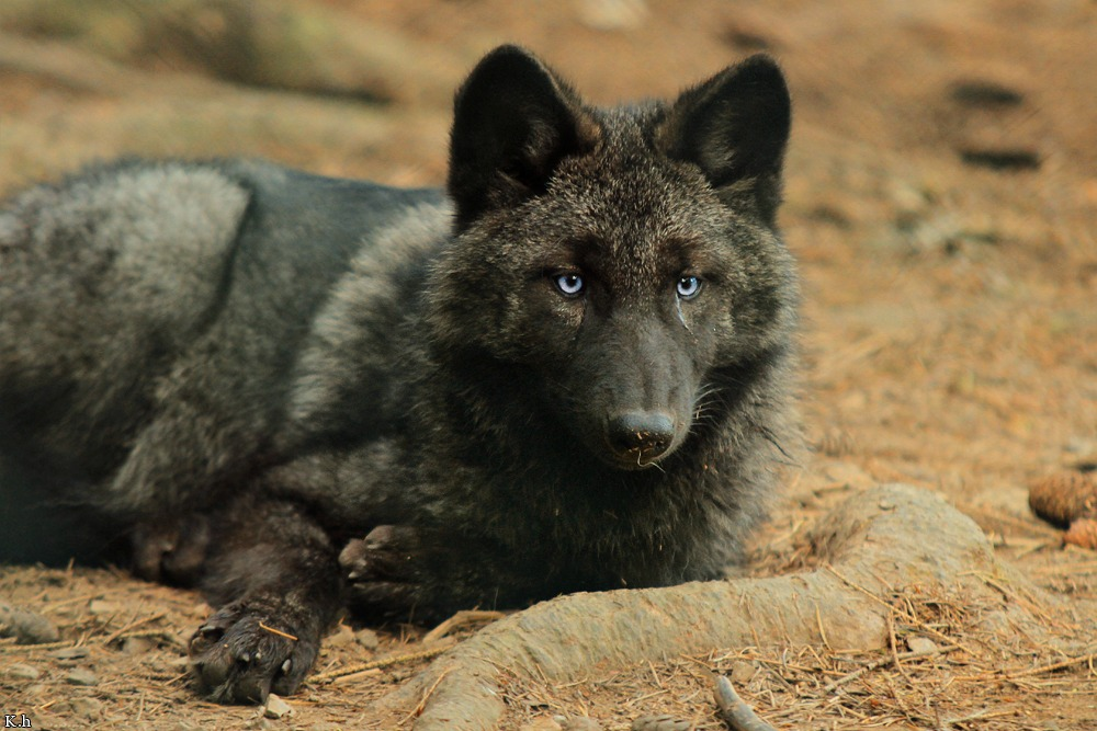 Black wolf pup howling