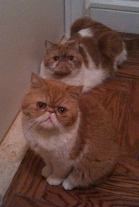 Chester SmooshyFace: 2 exotic shorthair cats