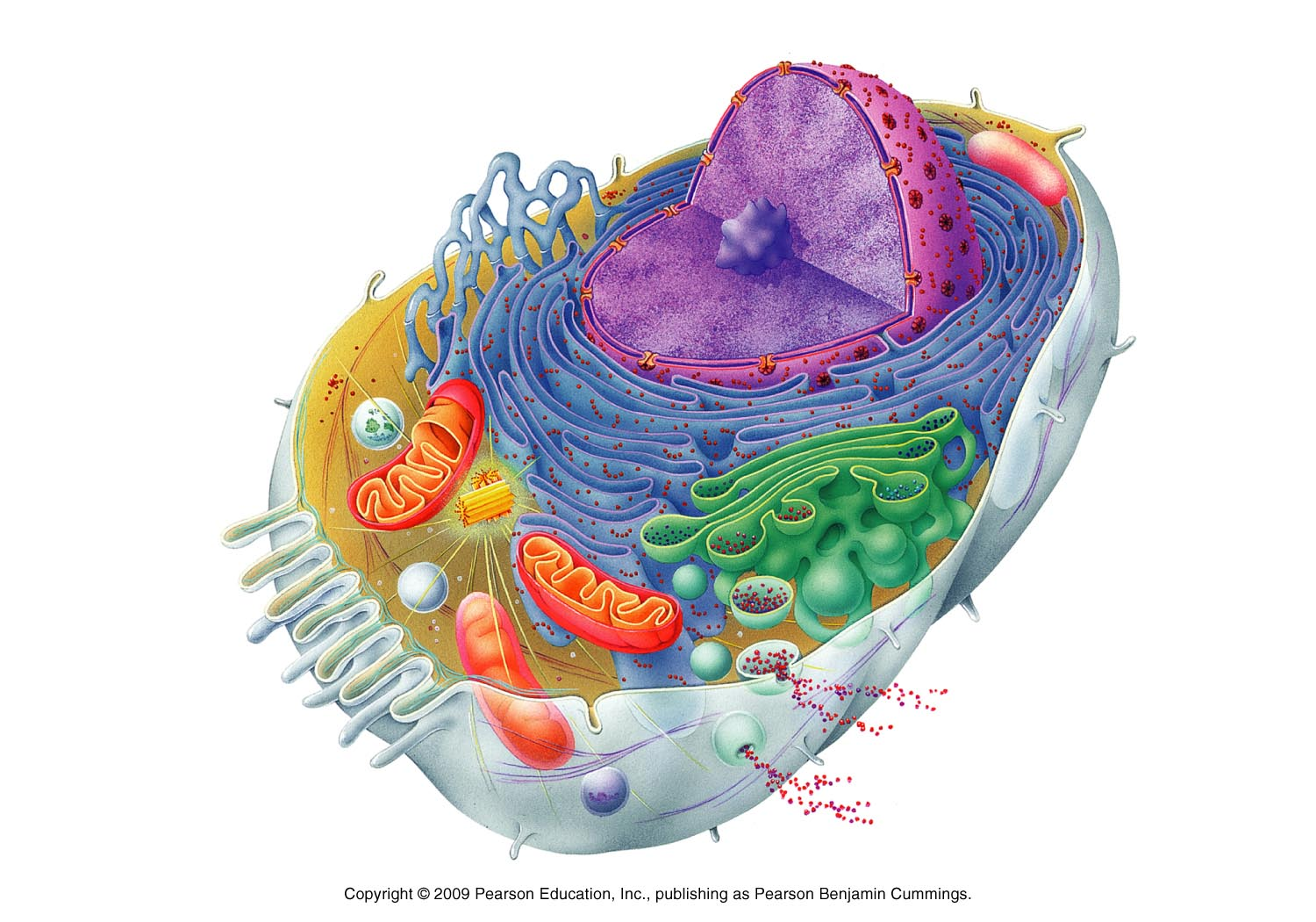 Fein anatomy of a animal cell zeitgenssisch menschliche anatomie animal cells publicscrutiny Image collections