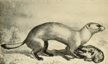 Black Footed Ferret Predators
