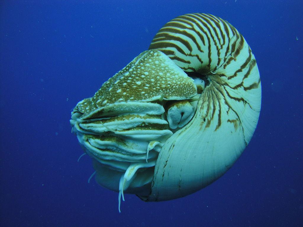 Nautilus shell sink