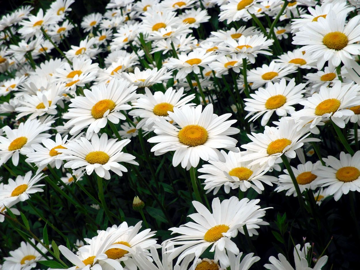 The gallery for --> Field Of Daisies Tumblr Field Of Daisies