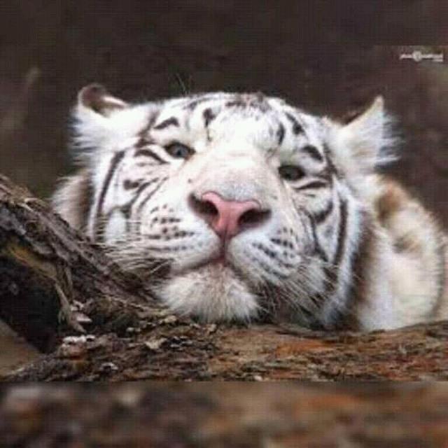 the white tigress | Tumblr