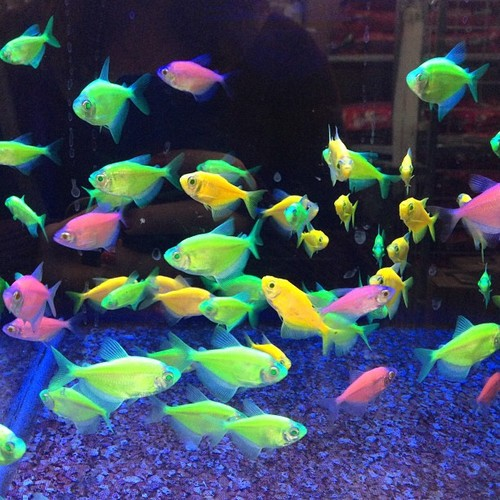 Dead fish for Glow in dark fish