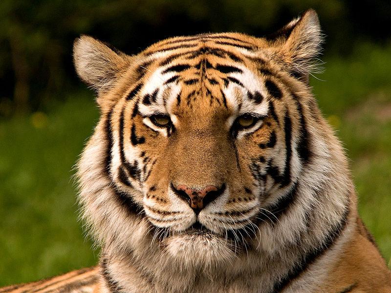 tigers of tinder