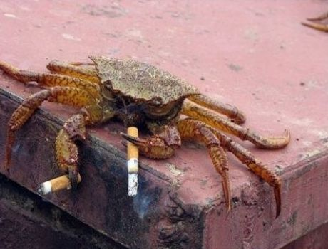 bring a crab to a knife fight