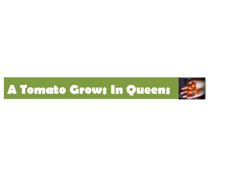 A Tomato Grows in Queens
