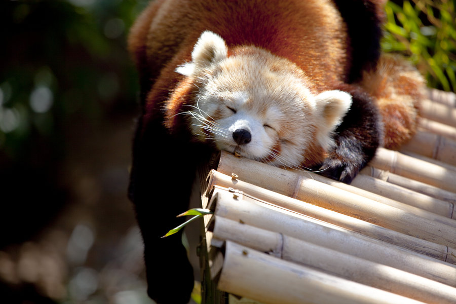 Red Panda Nation