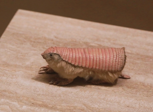 Weird creatures: Pink Fairy Armadillo