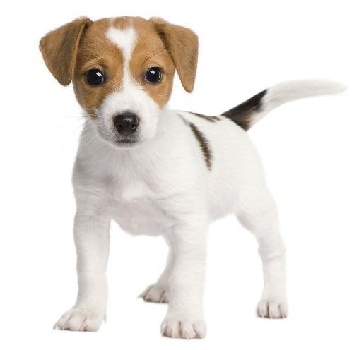 Black brown jack russell terrier