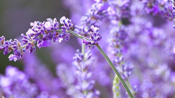 Image result for lavender  tumblr