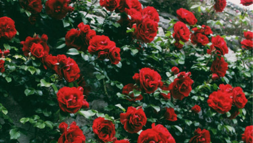 red rose background tumblr - photo #42