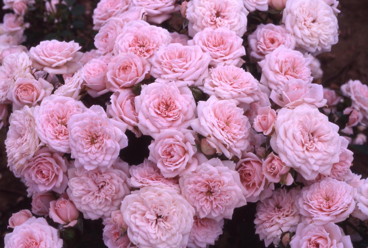 pink roses tumblr