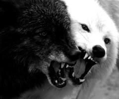 White Wolf And Black Wolf Story Geri and freki were alwaysWhite Wolf And Black Wolf Fighting
