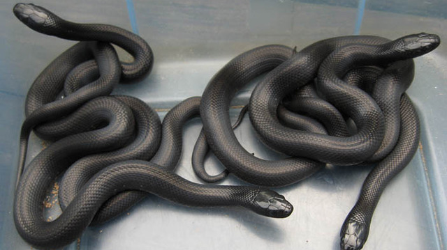 Black snake with white spots