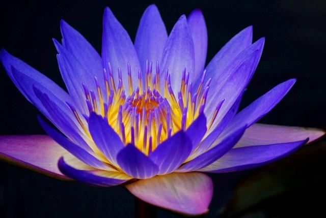 Lotus flower petal shape