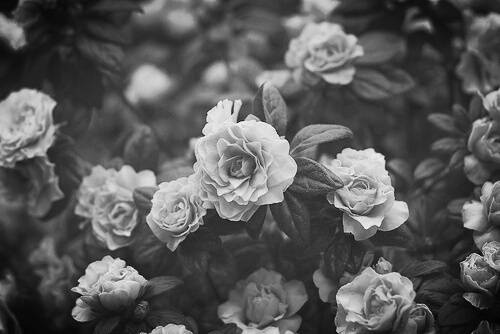 Black white rose garden