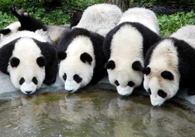 [Image: panda1.jpg]
