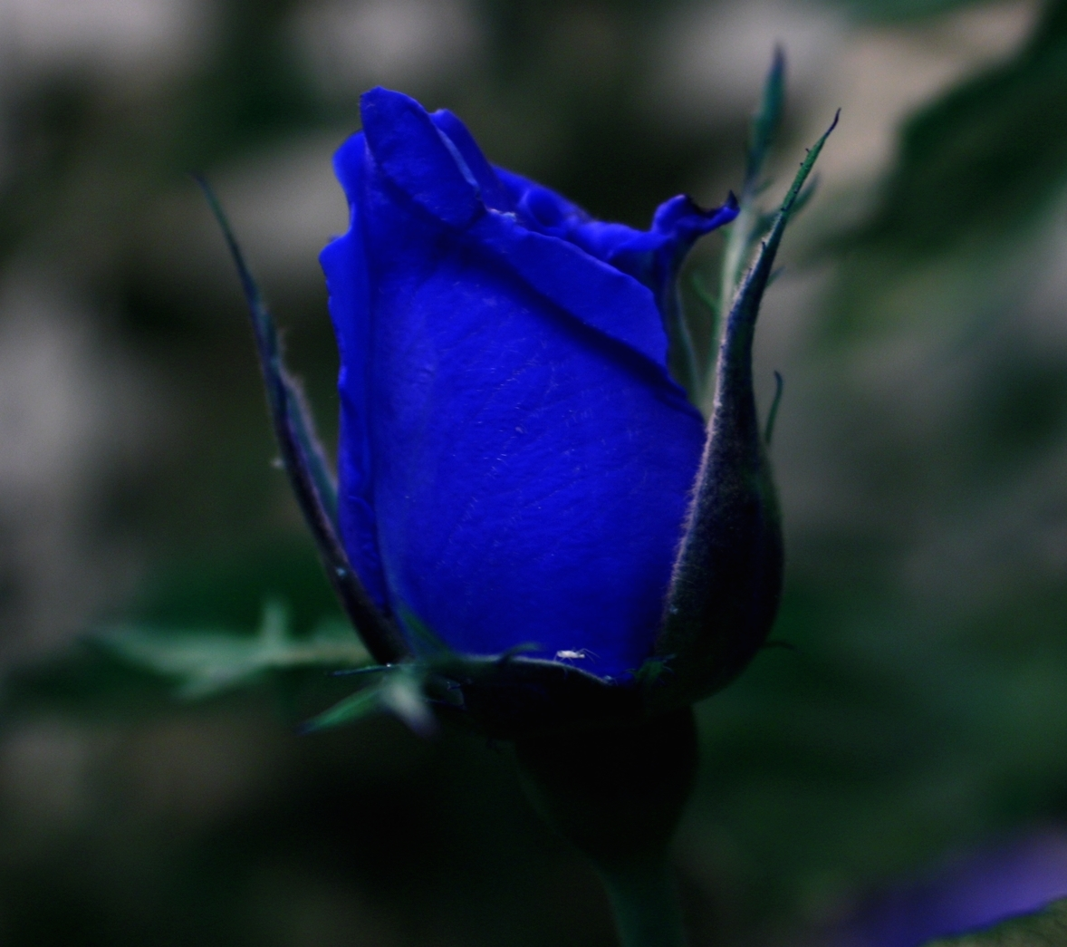 Photography Is Unique To The Photographer Much Like Uniqueness Of Fabled Blue Rose Just Some Photos Ive Taken