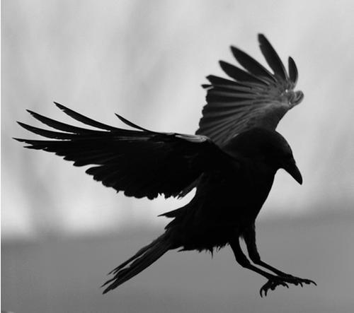 Three black crows omen