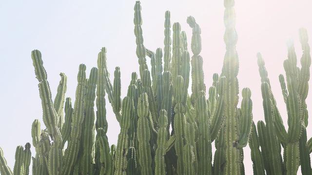 purtroppo il tuo browser grafico non ti permette di visualizzare questa splendida immagine di un cactus messicano :(
