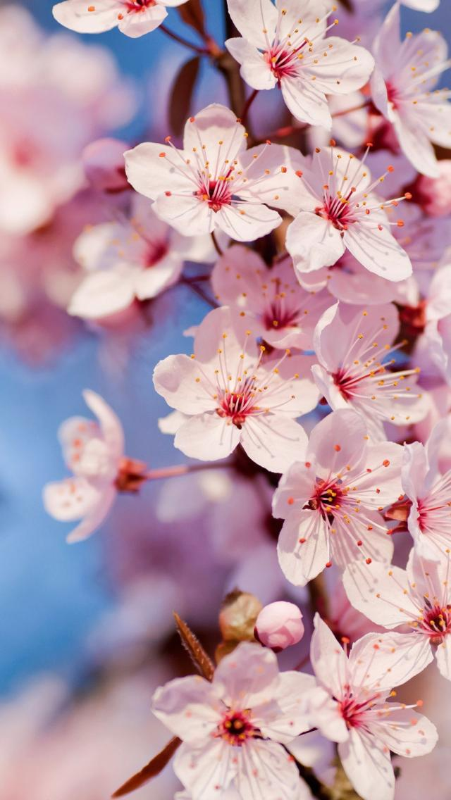 cherry blossom wallpaper iphone 7