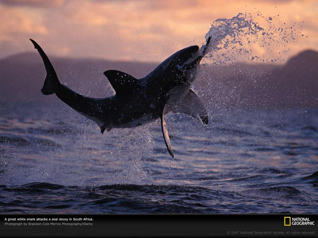 Simple Wallpaper Horse National Geographic - tumblr_static_great-white-shark  Pic_423487.jpg