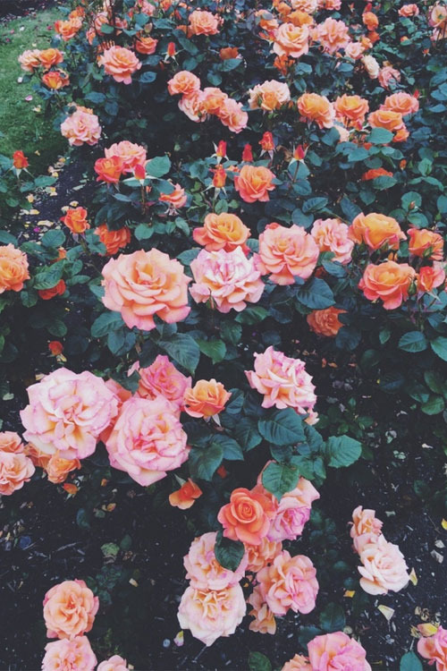 Photo collection flores wallpaper tumblr for Buy black and blue roses